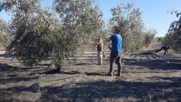Trabajos de recogida de aceitunas en un olivar