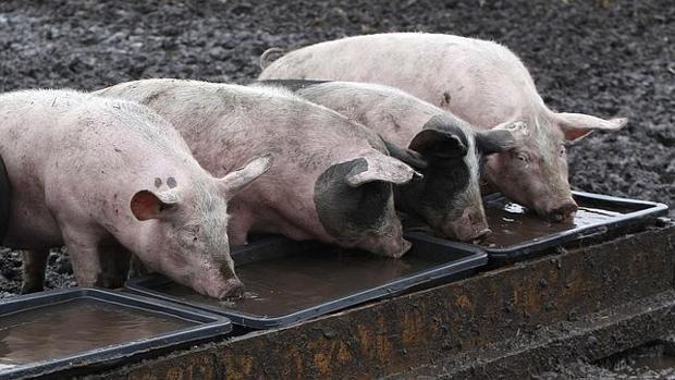 Tres cerdos se aliimentan en una granja