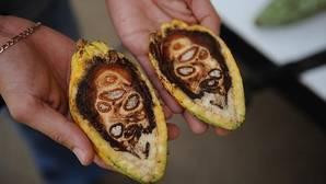 La planta del cacao tiene diez millones de años