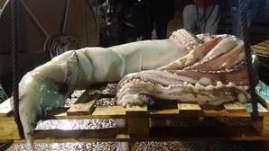 El último kraken capturado en el Cantábrico