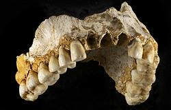 Mandíbula de neandertal procedente de la cueva de El Sidrón