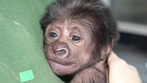 Mira el emocionante nacimiento por cesárea de un bebé gorila