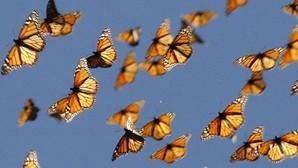 Descifran el secreto de la brújula interna de la mariposa monarca