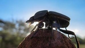 Los escarabajos «bailan» para guiarse por las estrellas