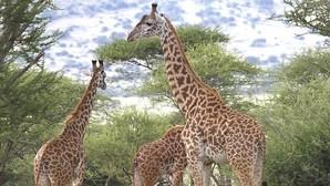 ¿Cómo logró la jirafa tener un cuello tan largo?