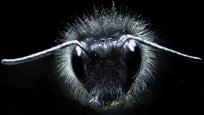 Los abejorros bailan al son de la electricidad