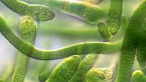 El sueño de producir combustible con bacterias