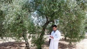 Científicos españoles descifran por completo el genoma del olivo