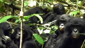 Un engaño sexual femenino mantiene la paz entre los bonobos