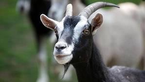 ¿Pueden las cabras convertirse en el mejor amigo del hombre?