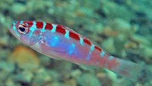 El pez que cambia de sexo 20 veces al día