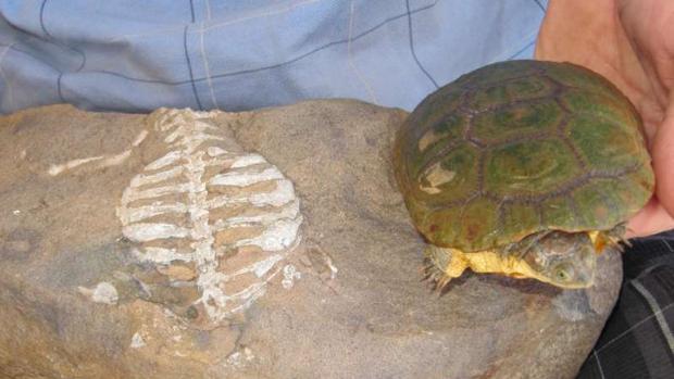 Un ejemplar fósil de tortuga (a la izquierda) y una tortuga actual, derecha. Creen que gracias a la excavación, pudieron soportar difíciles condiciones ambientales que causaron la extinción de otras especies