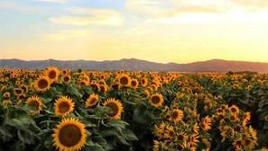 Averiguan por qué los girasoles siguen al sol