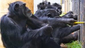 Los chimpancés también son capaces de cooperar