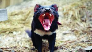El demonio de Tasmania evoluciona para resistir su terrible cáncer facial
