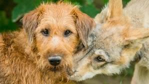 Los lobos se la juegan; los perros van a lo seguro