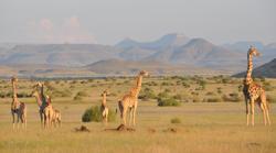 Una manada de jirafas de Angola en Damaraland, Namibia