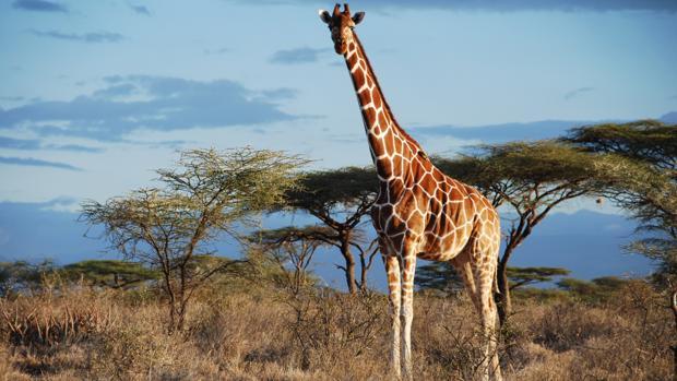 Una jirafa reticulada en Kenia