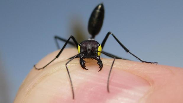 Una de estar hormigas, con los ojos «vendados» (en amarillo), para participar en los experimentos
