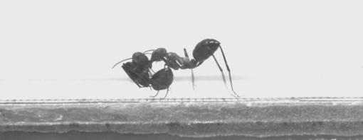«Sube, que te llevo». Las hormigas Cataglyphis transportan a las obreras de un nido a otro