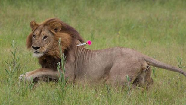 Una de las leonas con melena estudiadas por los investigadores