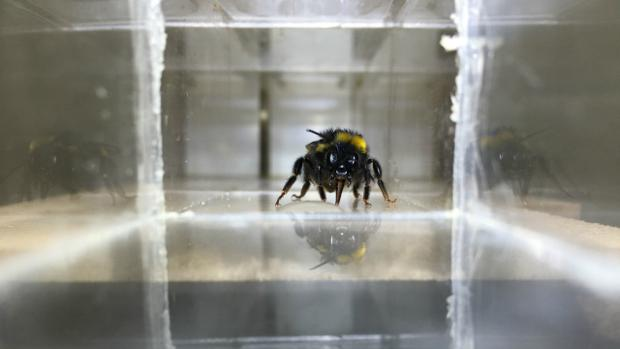Una abeja bebe una gota de agua azucarada