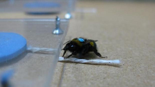 Una abeja se afana en tirar de una cuerda para sacar una flor artificial colocada bajo un plástico