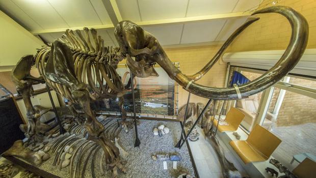 El esqueleto de un mamut lanudo de más de 50.000 años