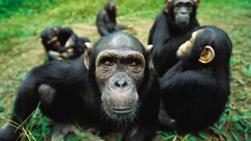 Los grandes simios también pueden «adivinar» lo que los demás piensan