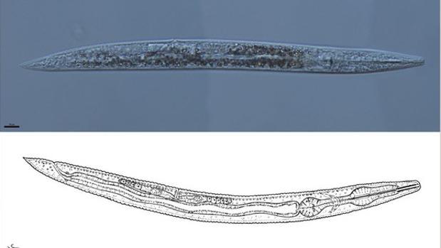 Dibujo y microscopia del nuevo nematodo Protorhabditis hortulana