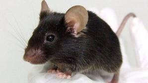 Los ratones «enamorados» imitan a las turbinas