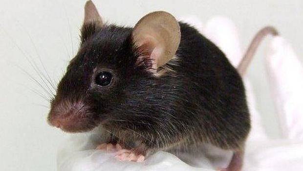 Los ratones producen vocalizaciones ultrasónicas para cortejar o defender su territorio