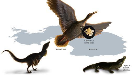 Una siringe encontrada en un pariente de patos y gansos actuales ha servido para tratar de entender cómo sonaban los dinosaurios