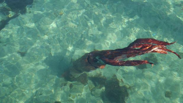 El calamar gigante fotografiado en La Coruña aún con vida