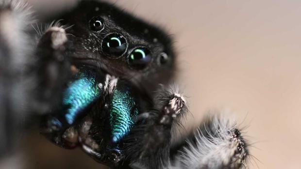 Una araña saltarina