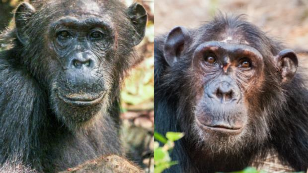Una hembra de alto estatus (más vieja) a la izquierda, y otra de bajo estatus a la derecha (más joven). Las hembras acumulan prestigio con el paso de los años, pero los machos tienen que luchar por él