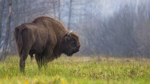 Bisonte europeo moderno