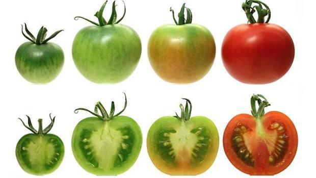El frío dificulta que los tomates tengan sabor