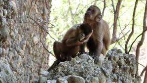 Estos monos crean herramientas de piedra como nuestros primeros antepasados