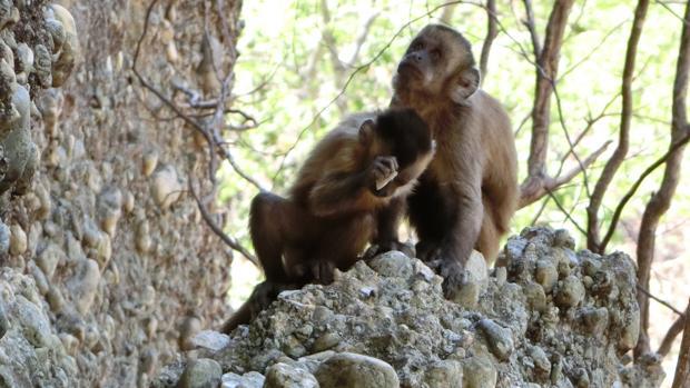 Monos capuchinos crean lascas golpeando piedras
