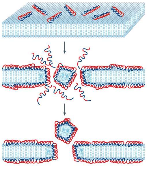 Los péptidos antimicrobianos se unen a pared externa de los microbios y forman poros por los que pueden entrar y atacar varios sistemas celulares