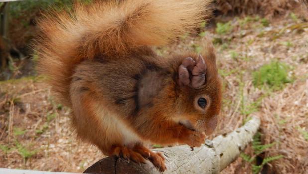 Una ardilla roja con lepra en el oído