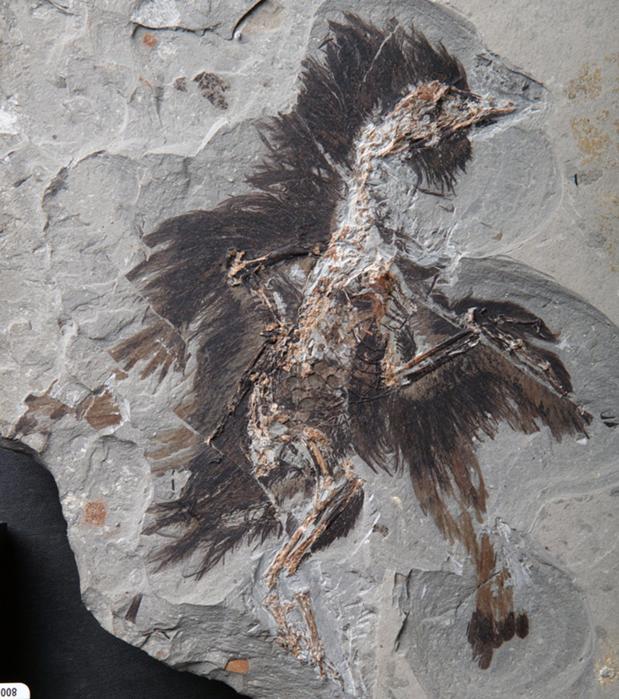 Fósil del Eoconfuciusornis hallado en China