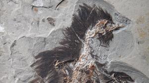 Hallan queratina en las plumas de un ave de hace 130 millones de años