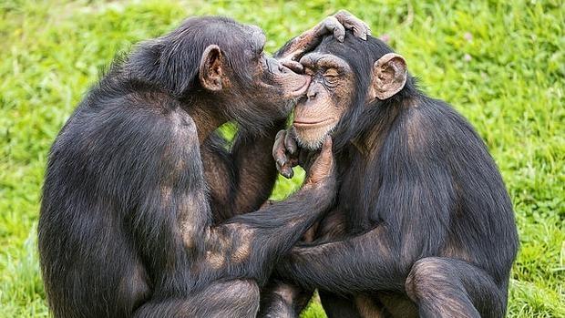Dos chimpancés se acicalan el uno al otro