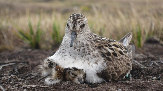 Correlimos semipalmeado, (Calidris pusilla). Cada pareja de aves tiene una dinámica que influye en si machos y hembras se repartirán el trabajo por igual