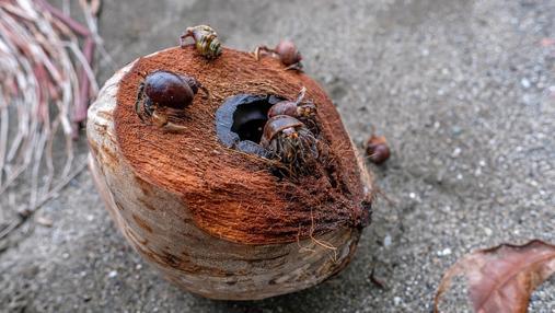 Cangrejos ermitaños alimentándose de un coco