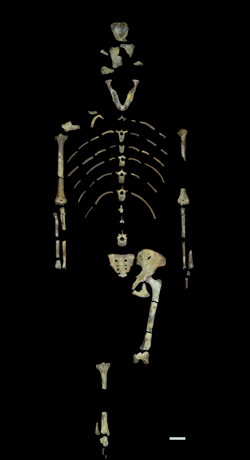 El esqueleto de «Lucy»