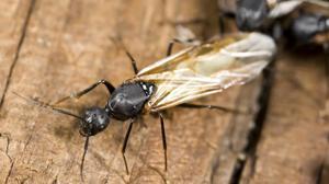¿Por qué hay hormigas aladas en otoño?