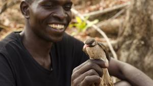 El curioso caso del pájaro que se comunica y colabora con los humanos